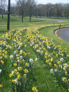 Daffodils on Canal 25